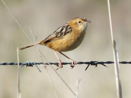 Golden-headed Cisticola Cisticola exilis