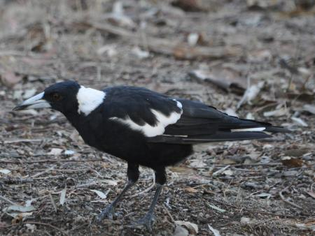 Black-backed Magpie  Gymnorhina tibicen