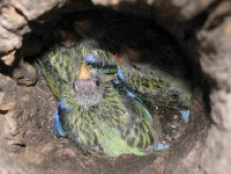 Eastern Rosella chicks 14 days old