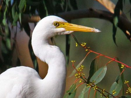 Intermediate Egret head shot
