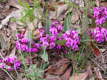 Hardenbergia  violaceae  Purple Coral-pea