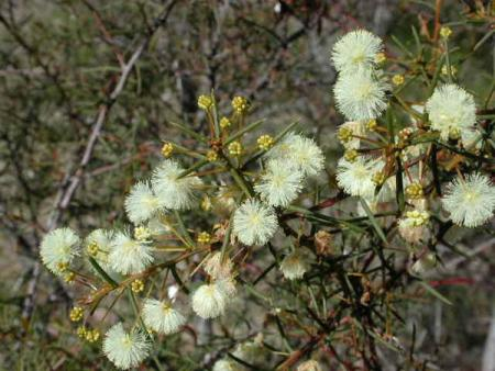 Acacia genistifolia  Spreading Wattle
