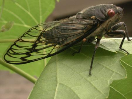 Cicada Black Prince  Family Cicadidae