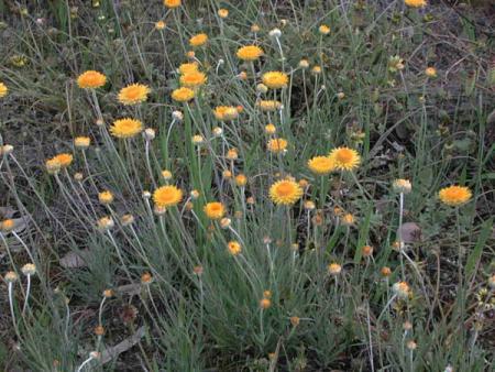 Leucochrysum albicans  Hoary Sunray