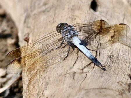 Blue Skimmer  Orthetrum caledonicum