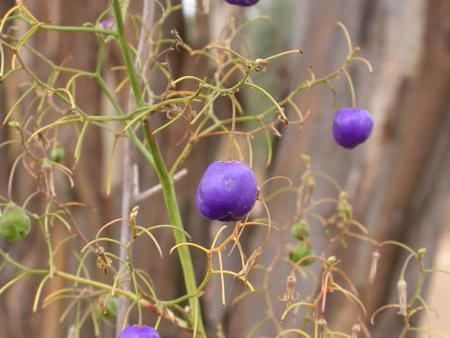 Dianella longifolia fruits  Pale Flax-lily
