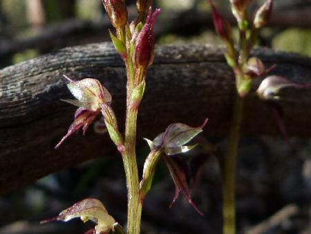 Acianthus collinus Inland Pixie-caps