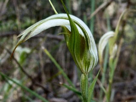 Pterostylis revoluta   Autumn Greenhood