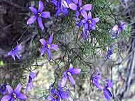Cheiranthera cyanea  Finger-flower