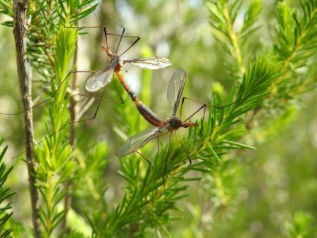 Crane flies mating  Family Tipulidae BP