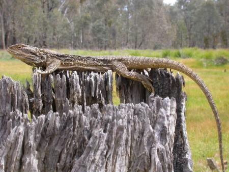 Bearded Dragon Amphibolurus barbartus 2