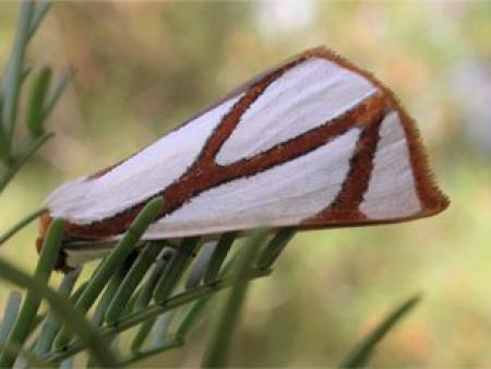 Thalaina clara  Clara Satin Moth