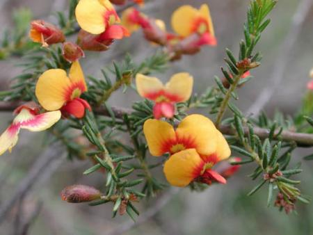 Dillwynia phylicoides  Small-leaf Parrot-pea