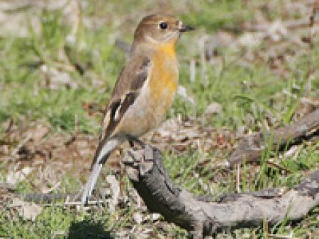Flame Robin Petroica phoenicea young male