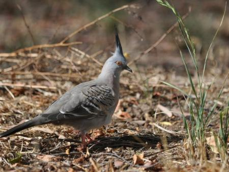 Crested Pigeon  Ocyphaps lophotes
