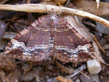 Epyaxa sp  Carpet Moth