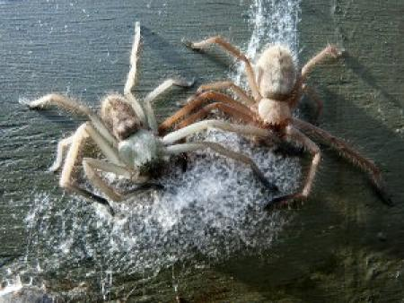 Huntsman spiders