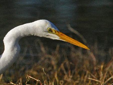 Great Eastern Egret head