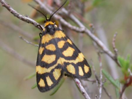 Asura lydia Lydia Lichen Moth