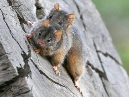 Yellow-footed Antechinus Antechinus flavipes
