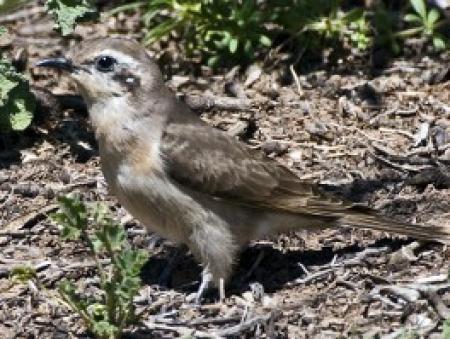 Black-eared Cuckoo   Chrysococcyx oscularis