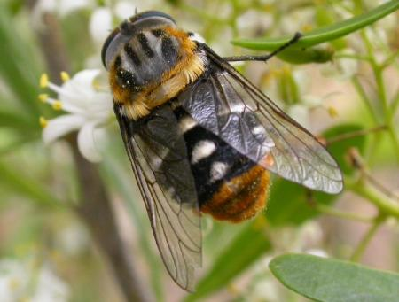 Fly  Rutilia sp