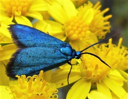 Polanisus sp. Satin-forester Moth N Blair, JPG