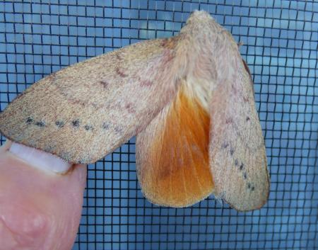 Entometa fervens Common Gum Snout Moth