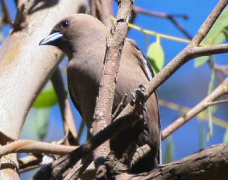 Dusky Woodswallow Artamus cyanopterus res
