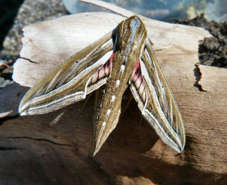 Hippotion celerio Vine Hawk Moth