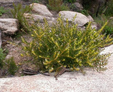 Acacia lanigera  Woolly Wattle