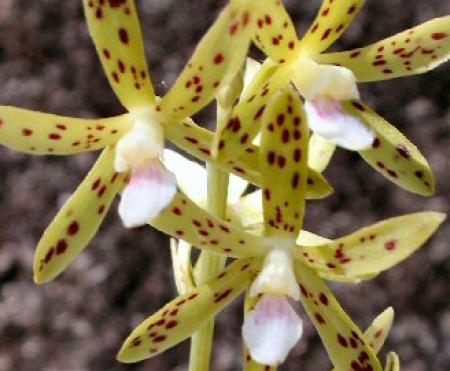 Dipodium hamiltonianum Yellow Hyacinth-orchid