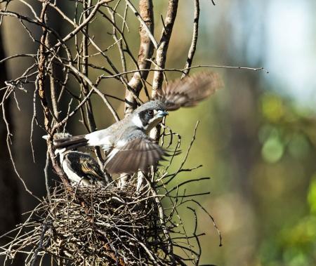 Grey Butcherd bird and chick