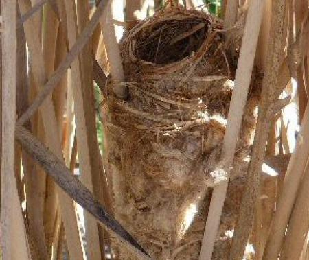 Clamorous Reed Warbler nest Acrocephalus stentoreus