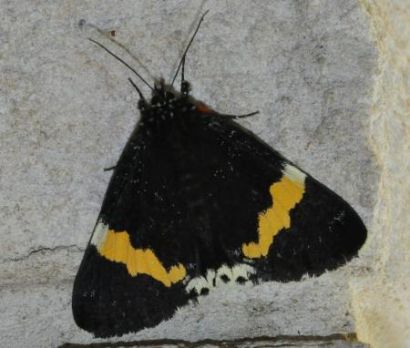Eutrichopidia latinus