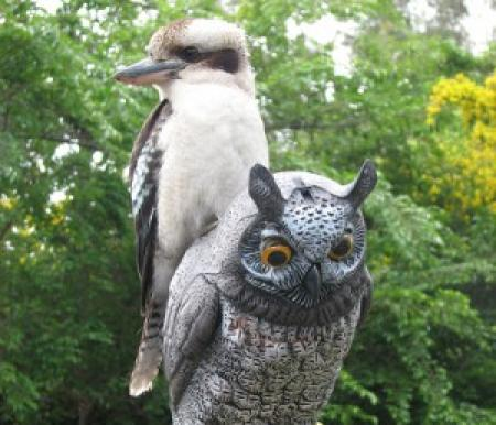 Laughing Kookaburra  Dacelo novaeguineae