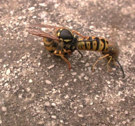 European Wasps  Vespula germanica