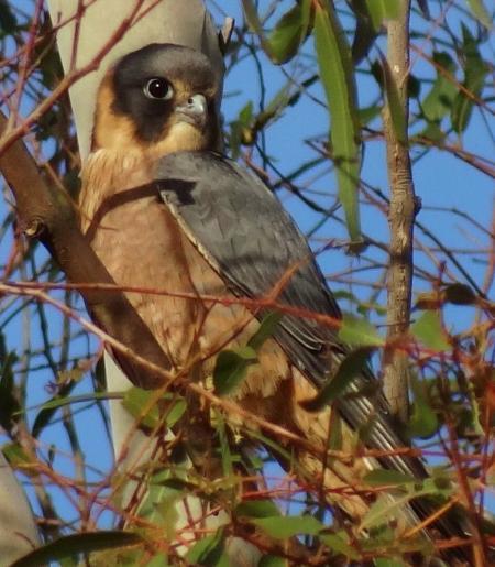 Australian Hobby Falco longipennis