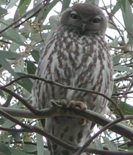 Barking Owl. Ninox connivens