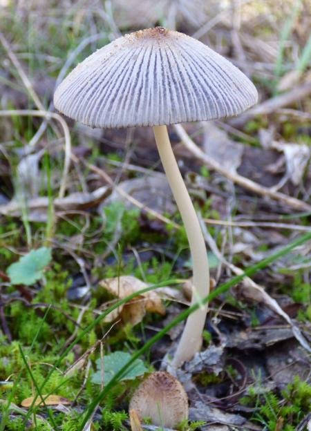 Coprinus micaceus.  July jpg