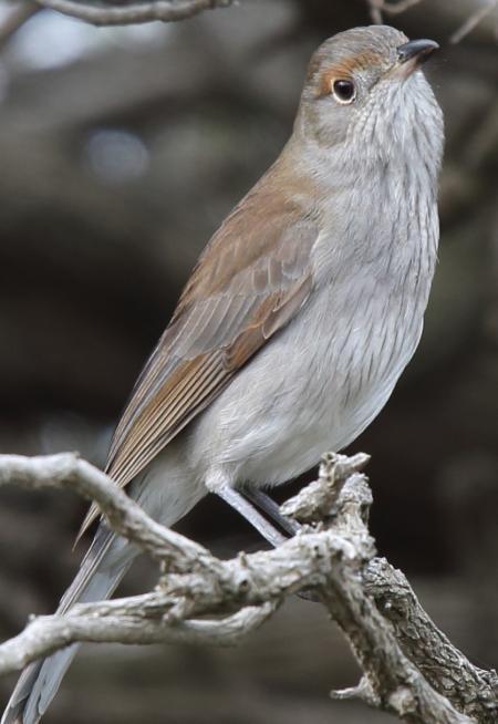 Grey Shrike-thrush immature