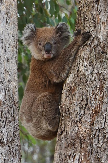 Koala Chiltern