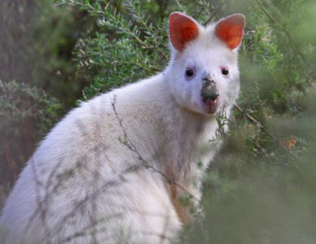 Albino Swamp Wallaby