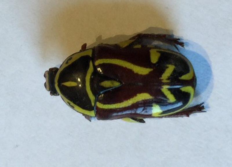 Eupoecila australasiae Fiddler Beetle