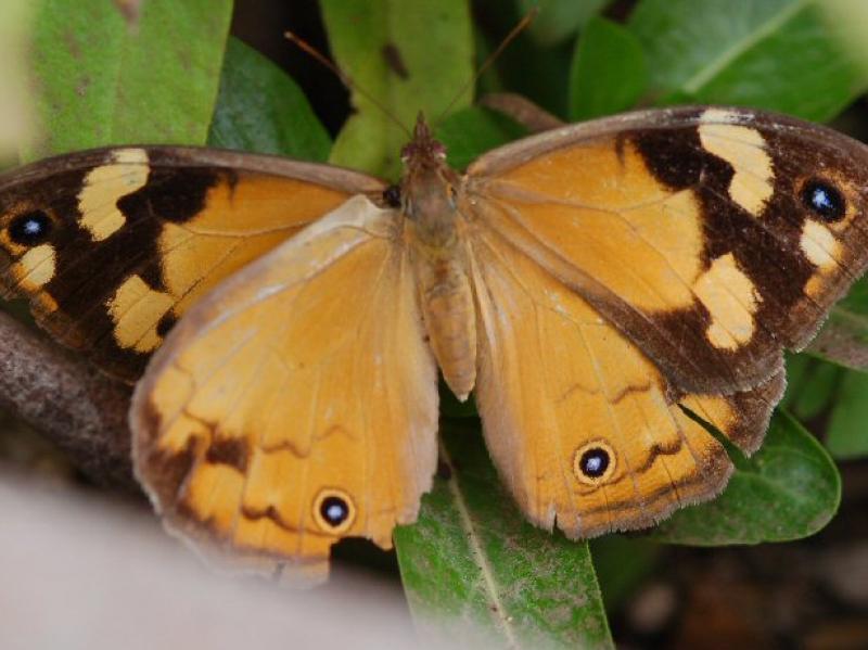 Common Brown Heteronympha merope Female
