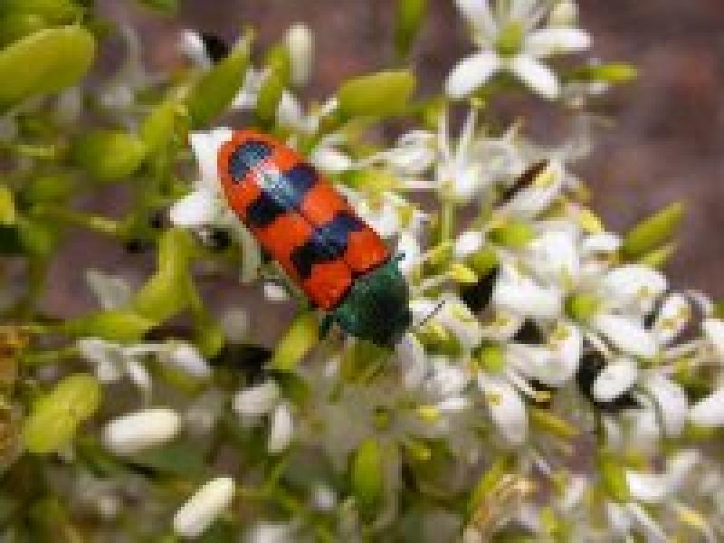 Jewel Beetle Castiarina deyrollei