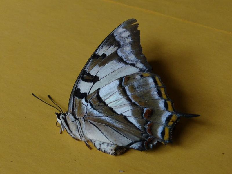 Butterfly  Polyura sempronius