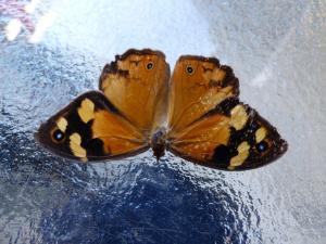 Common Brown Heteronympha merope March 2020