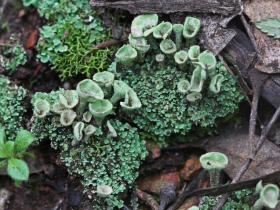 Trumpet Lichen Cladonia sp