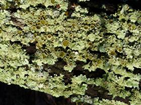Greenshield Lichen Flavoparmelia sp